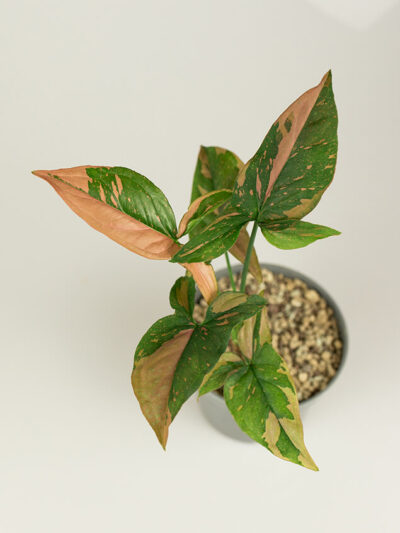 Syngonium red spot tricolor 01
